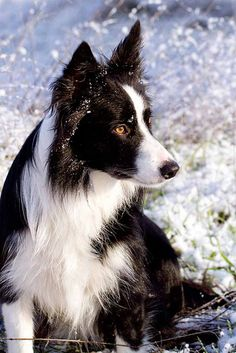 Tulla in the snow