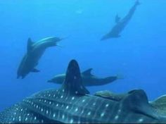 Whale shark and dolphins