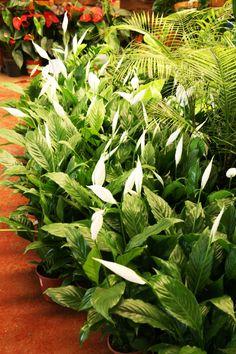 """Lírio de paz - Este tipo de planta é comumente utilizado em toilette e em áreas de serviço em função de suas propriedades naturais de """"limpeza"""" e remoção de esporos de fungos. Esta espécie necessita de cuidados especiais, durante seu período de crescimento são necessárias regas abundantes e luminosidade, mas não a incidência direta do sol o que pode ocasionar queima das folhas."""