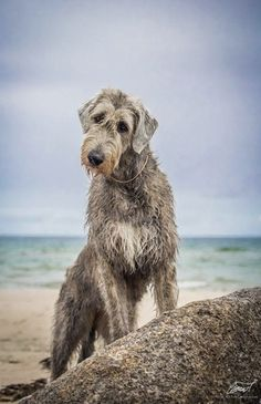 Dog And Puppies Small Deerhound.Dog And Puppies Small Deerhound. Big Dogs, Large Dogs, I Love Dogs, Cute Dogs, Dogs And Puppies, Doggies, Irish Dog Breeds, Magyar Agar, Irish Wolfhound Dogs