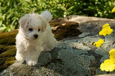 Bichon Puppy!  Looks just like Muggs when she was little <3 <3 <3