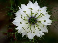 macro | Nigella damascena -  ragged lady | by rainerralph093 | http://ift.tt/1WG7qaK