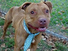 TO BE DESTROYED 10/14/13 Manhattan Center-P~LEO~ID # is A0980665. Male brown pit bull mix. 2 YEARS old.  OWNER SUR on 09/30/2013. **Please note: Leo is being used as a behavior helper dog.  This means Leo is so well mannered, he is being used to help assess new dogs! House & crate trained, Likes kids/people/dogs/cats. He does pull a bit on leash- retrainable! THIS IS A GREAT DOG!!! Leo would make a wonderful addition to any family. Don't wait!