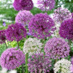 jardins des papillons - l'ail d'ornement aux fleurs mauves et blanches
