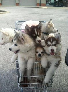 Be on the lookout, guys...i heard there's a Chihuahua that wants to sneak into our cart club! #dogs #husky #huskies
