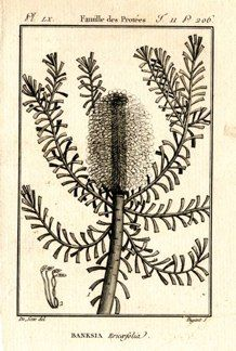 "buffon botanical french 1775 engraving 4 x 6""  $25 - 16"