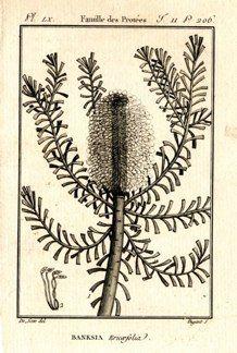 "buffon botanical french 1775 engraving 4 x 6""  $25 - 16"