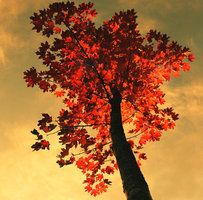 maple tree by *KariLiimatainen on deviantART