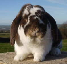 Giant French Lop Rabbits   FRENCH LOPS