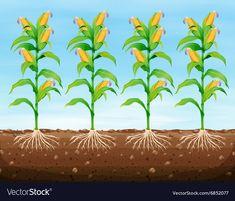 Corn planting on the ground Royalty Free Vector Image Free Vector Images, Vector Free, Popcorn Seeds, Plantation, Illustration, Clip Art, Vegetables, Nursery School, Agriculture