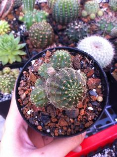 Lobivia đang nụ - 35k #lobiviaarachnacantha #cactus #cactos #cactii #cacti #cactilove #cactilover #welovecacti #xuongrong #senda #succulent #succulents #succulove #succulovers #cactiofinstagram #hochiminhcity #saigon #vietnam #erialshop #plants #plant  https://www.facebook.com/erialshop.vn/posts/568214253375642 Lobivia đang nụ - 35k #lobiviaarachnacantha #cactus #cactos #cactii #cacti #cactilove #cactilover #welovecacti #xuongrong #senda #succulent #succulents #succulove #succulovers…