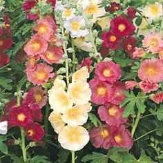 Country Mix Hollyhocks-My husbands favorite flower. Love Flowers, Beautiful Flowers, Beautiful Wall, Cottage Garden Plants, Cottage Gardens, Spring Hill Nursery, English Country Gardens, Hollyhock, Planting Bulbs