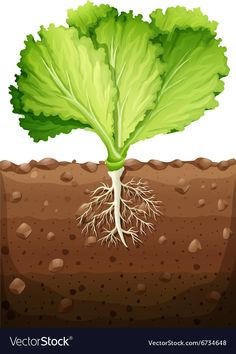 Green vegetable with leaves and roots illustration Trees To Plant, Plant Leaves, Garden Mural, Corn Plant, Spring Activities, Root Vegetables, Fruit Art, Fruit And Veg, Colouring Pages