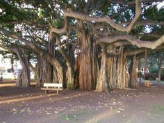 The history of the banyan tree in Hawaii