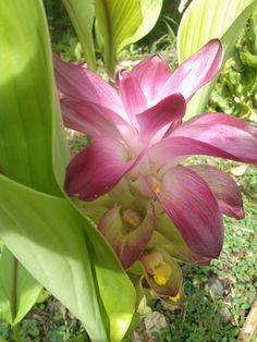 tropical flower, palau