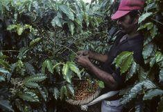 afp. 16.09.26. Arabica kávébabot szüretel egy munkás.