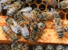 Queen Buyers Beware ---good common sense, ask why queens are for sale and by whom. Look inside any nuc you buy and refuse to accept old and unmarked frames. Don't buy bees on your own until you have some beekeeping experience! Beekeeping Equipment, Bee Supplies, Clueless, Bee Keeping, Queen Bees, Finding Yourself, Canning, Queens