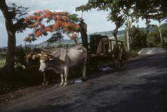 Jibarito puertorriqueno,en su carreta de bueyes!!!