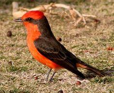 Sonoran Desert Birds | history association sonoran desert birds vermilion flycatcher male ...