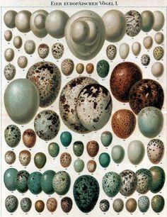 Vintage Copyright Free Clip Art - Birds Eggs - The Graphics Fairy