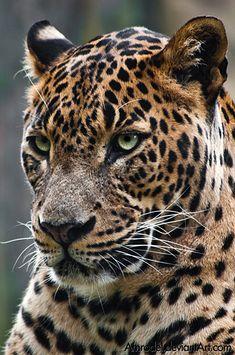~~Sri-Lankan Leopard (Panthera pardus kotiya) by =amrodel~~