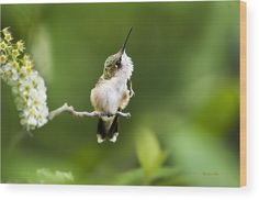 Hummingbird Flexibility Wood Print by Christina Rollo.  All wood prints are professionally printed, packaged, and shipped within 3 - 4 business days and delivered ready-to-hang on your wall. Choose from multiple sizes and mounting options.