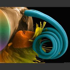 Butterfly Proboscis: The incredible world of the unseen are made visible through the scanning electron microscope.