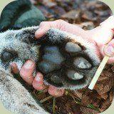 mountain lion foot