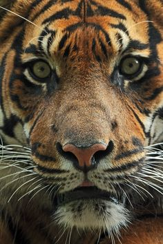 Sumatran tiger, up close Flickr