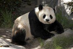 Studly panda father of six cubs, Gao Gao.