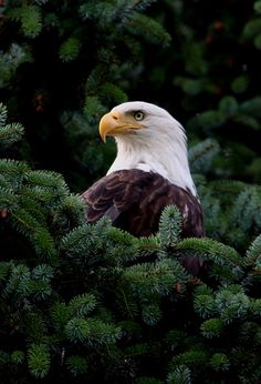 Bald Eagle in Juneau, Alaska.