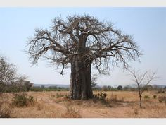 There are elevent trees in our area that are under threat. Learn more about the majestic baobab, one of these 'death row' trees.