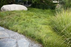 Carex remota or European Meadow Sedge makes a for a natural landscape