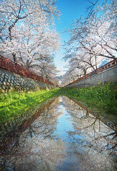 Cerejeiras em flor, ao longo da rodovia Yeojwacheon, Jinhae, Coreia do Sul.