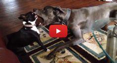 Great Dane VS Boston Terrier (Video) - Watch the Video here → http://www.bterrier.com/great-dane-vs-boston-terrier-video/ - https://www.facebook.com/bterrierdogs