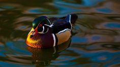 Mandarin Duck | http://bestwallpaperhd.com/mandarin-duck.html
