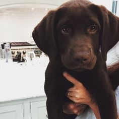 Chocolate Lab puppy. ❤️ [Adorable, #1 most affectionate, loyal, low maintenance, easy to train, & love the outdoors]