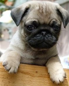 I'm ready to play when you are! sez this Pug puppy