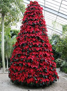 Poinsettia tree at Longwood Gardens, Kennett Square, PA - What You Don't Know A. - Poinsettia tree at Longwood Gardens, Kennett Square, PA – What You Don't Know About Poinsettias Won't Kill You Xmas Tree, Christmas Tree Decorations, Holiday Decor, Red Tree, Noel Christmas, All Things Christmas, Christmas Colors, Poinsettia Tree, Christmas Poinsettia