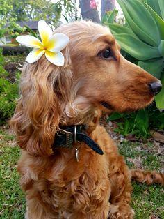 Love Spring! Frangipani blooms are a favourite. @jaspergoldenspaniel