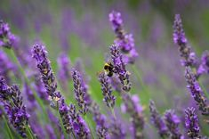 How to Grow and Care for Lavender in Containers.
