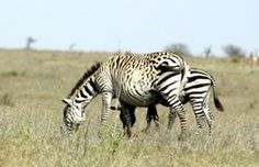 Zebra with modified stripes (almost spotted instead of striped)
