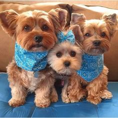 "Explore our web site for more relevant information on ""Yorkshire terrier dogs"". It is an outstanding location to learn more."
