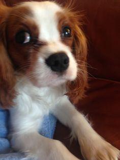 Cavalier on the sofa