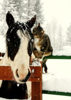 Black & white horse with cat