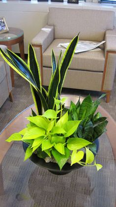Mother-in-law tongue tall and short with neon pothos.  Nice contrast easy maintenance and rich accents