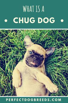 The Chug dog is a mixed designer dog breed of two of the most popular small dog breeds; the Chihuahua and Pug. Read on to find out more about this dog breed, how-to care for them and train them whilst discovering dog breed information along the way.  #chugdog #whatisachugdog #chihuahuapugmix