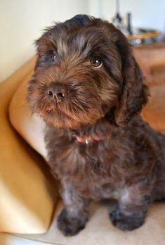 Golden Gate Labradoodles: Authentic Australian Labradoodles | Dolly, the chocolate Labradoodle puppy.