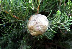 Cupressus sempervirens - Кипарис вечнозелёный