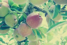 Apples by mrs. french, via Flickr #apple #tree #green